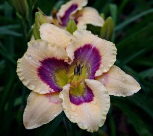 Blue Ridge Area Daylily Society @ Roanoke Council of Gardens | Cave Spring | Virginia | United States