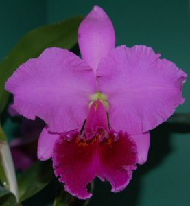 Blue Ridge Orchid Society @ Roanoke Council of Garden Clubs | Cave Spring | Virginia | United States