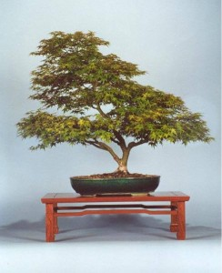 HINOKI BONSAI CLUB @ RCGC | Cave Spring | Virginia | United States